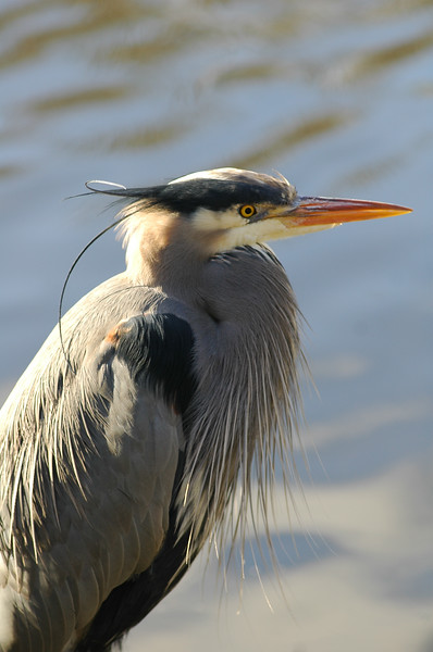 Great Blue Heron<br /> Professional Wildlife Photography by Christina Craft of the Nature Stock Photography Library