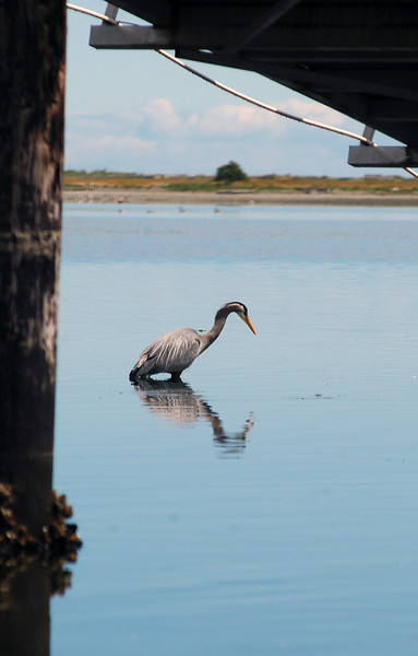 great blue heron under a dock - Nature Stock Image by Professional Nature Photographer Christina Craft