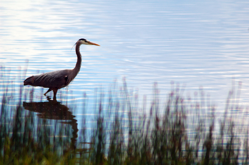Great blue heron  - Nature Stock Image by Professional Nature Photographer Christina Craft