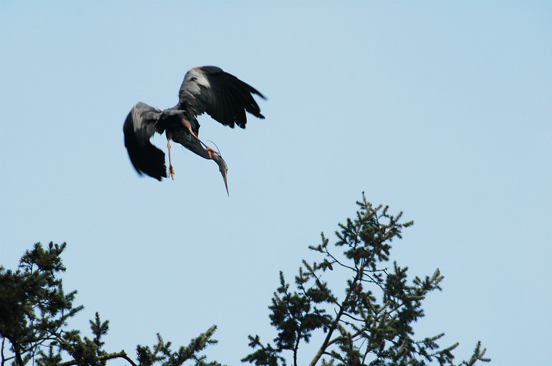 A great blue heron dives toward its nest<br /> <br /> Professional Wildlife Photography by Christina Craft of the Nature Stock Photography Library