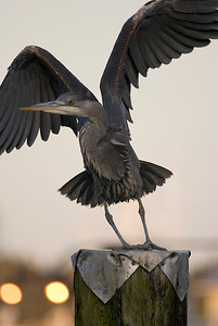 Great Blue heron about to fly away