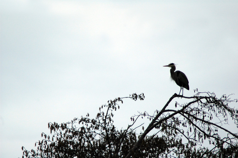 Great blue heron on top of a tree in a heronry <br /> <br /> Professional Wildlife Photography by Christina Craft of the Nature Stock Photography Library