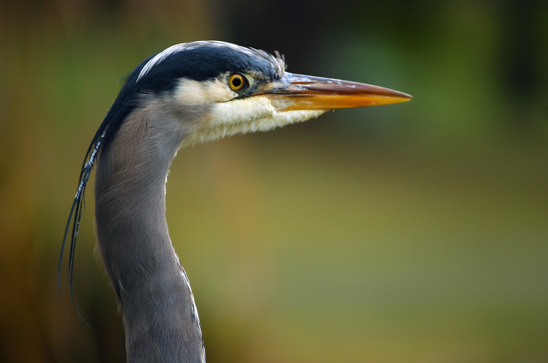 Great blue heron closeup <br /> Professional Wildlife Photography by Christina Craft of the Nature Stock Photography Library