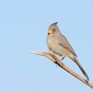 Pyrrhuloxia (Female)