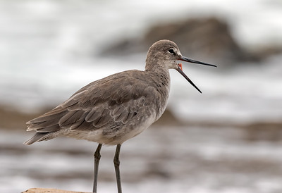 Willet with Mouth Open