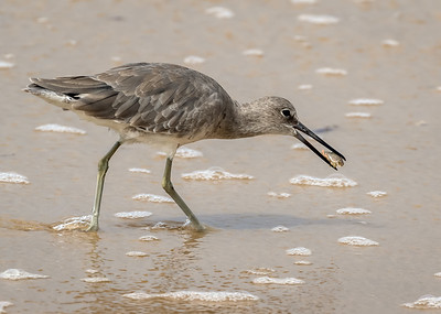 Willet with Sand Crab