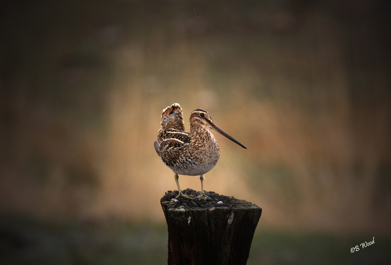 "GG 08MY8273 Wilson's Snipe (Gallinago delicata).<br /> <br /> The hollow, low whistled sound called ""winnowing"" is used by the male to defend his territory and attract a mate. It is not a vocal sound, but rather is produced by air flowing over the outstretched tail feathers with each wingbeat. The outer tail feathers are greatly modified to produce the sound and are thin and curved."