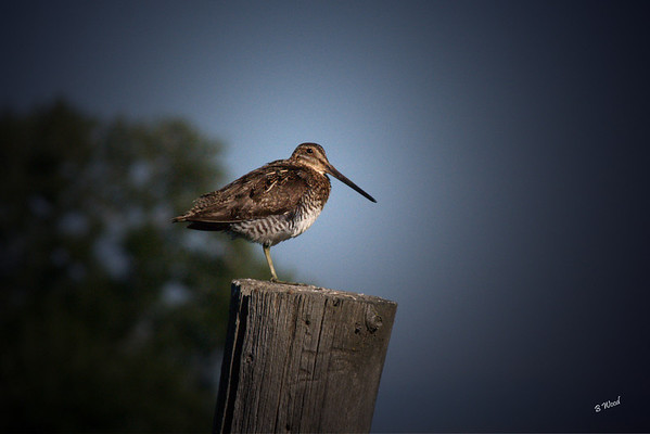 GG 07JL7802 Wilson's Snipe (Gallinago delicata).  They seek food early in the morning and in late afternoon, and seem to be more active on cloudy days. They use their long bills to probe deeply in the mud to find small animals.
