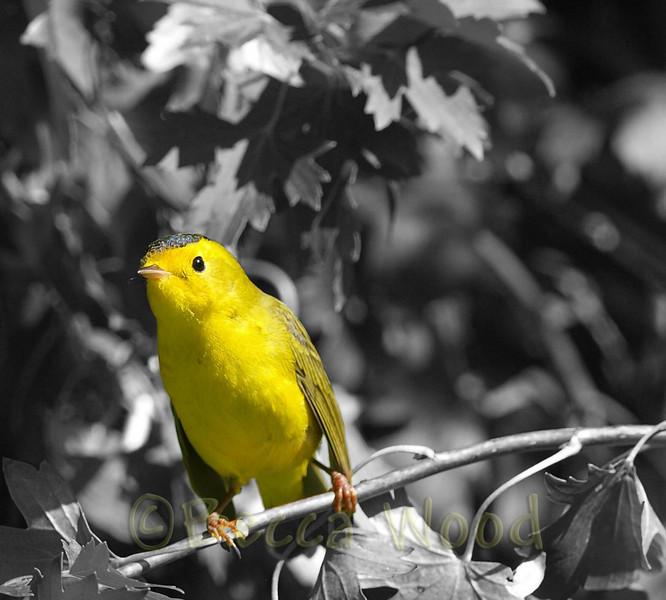 WP 09SE9209b<br /> <br /> Juvenilve Male Wilson's Warbler.