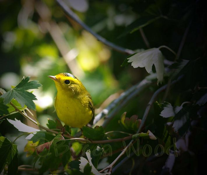 WP 09SE9156<br /> <br /> Female Wilson's Warbler.