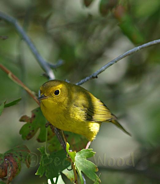 WP 09SE9196<br /> <br /> Female Wilson's Warbler.