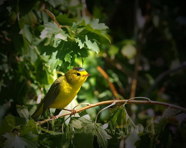 WP 09SE9212<br /> <br /> Juvenile Male Wilson's Warbler.