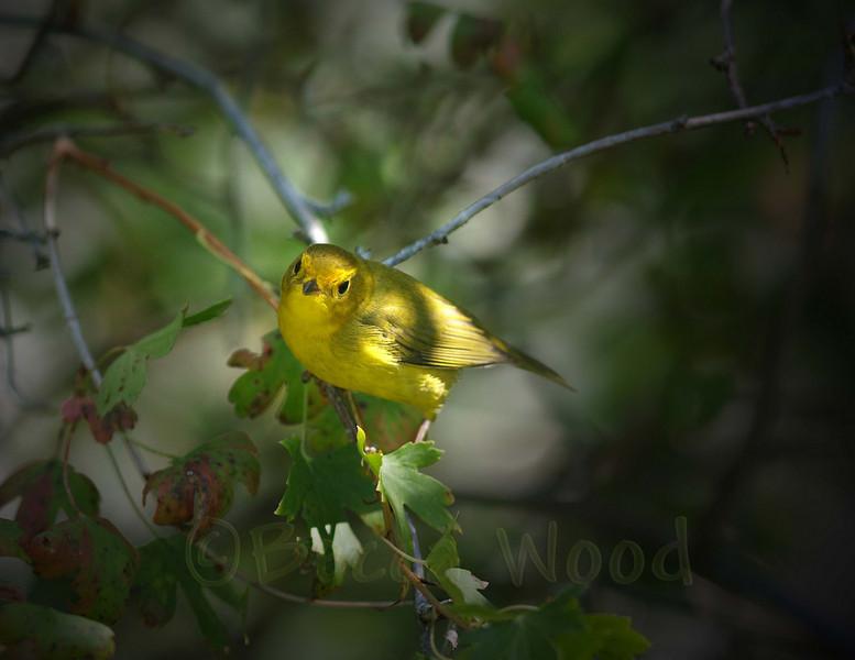 WP 09SE9197<br /> <br /> Female Wilson's Warbler.