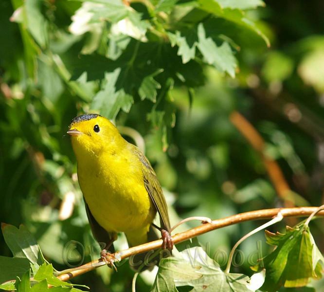 WP 09SE9209a<br /> <br /> Juvenile Male Wilson's Warbler.