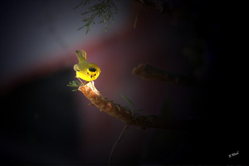 WP 07SP9429 Male Wilson's Warbler(Wilsonia pusilla).