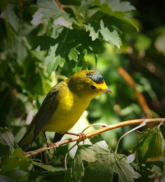 WP 09SE9210<br /> <br /> Juvenile Male Wilson's Warbler.