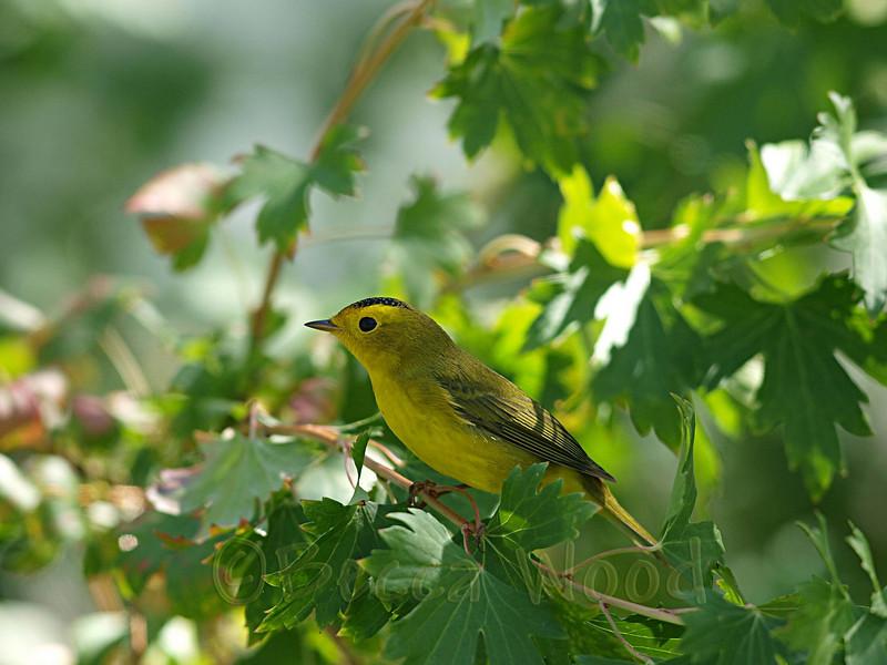 WP 09SE9149<br /> <br /> Male Wilson's Warbler.