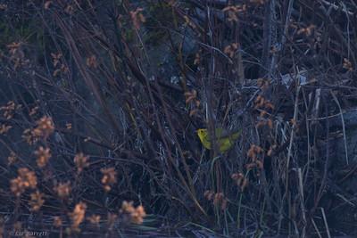 0U2A8825_Wilson's Warbler