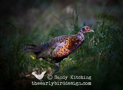 Wiltshire Pheasants Sept 2014