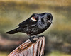 Red Winged BLackbird,  youngster