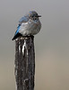 Mountain Bluebird on Post IV