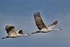Sandhill Crane pair in Flight II