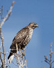 Feruginous Hawk I