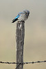 Mountain Bluebird on Post I