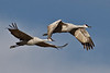 Sandhill Crane Pair in Flight I