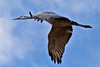 Sandhill Crane in Flight II