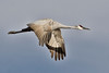 Sandhill Crane in Flight I
