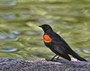 Red Winged Blackbird, Male