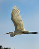 Great White Egret in Fllight