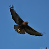 Red-tailed Hawk (dark morph) in flight.