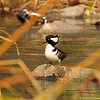 A male Hooded Merganser in the LA River
