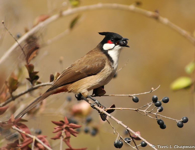 A Red-whiskered Bulbul eating a berry