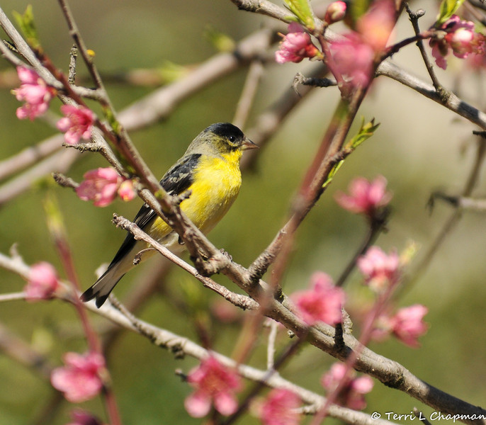 A male Lesser Goldfinch perched in a flowering apple tree