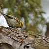 Townsend's Warbler (female) with a bug