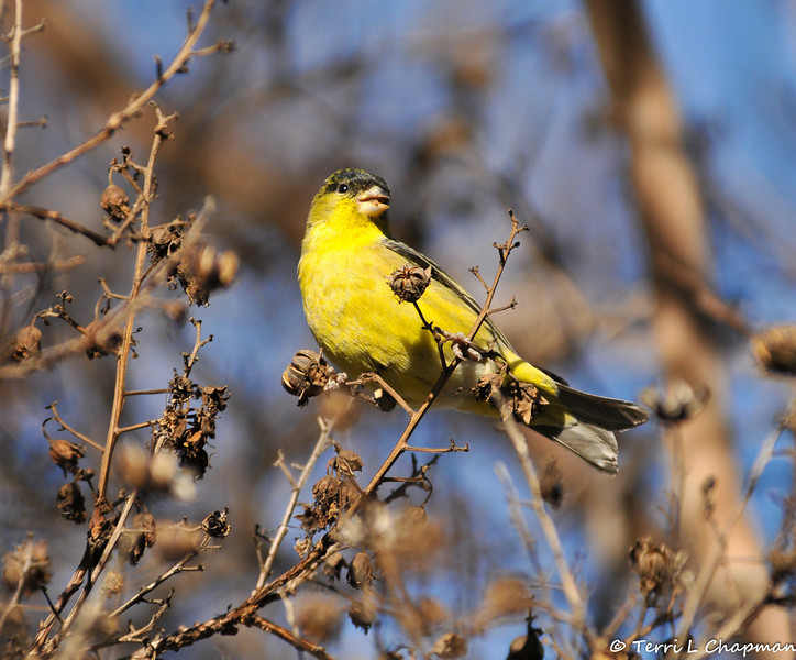 Lesser Goldfinch (male) eating seeds of a Crape Myrtle Tree in winter