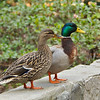 A male and female Mallard Duck