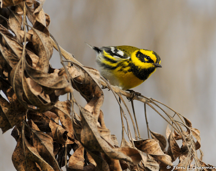 A male Townsend's Warbler
