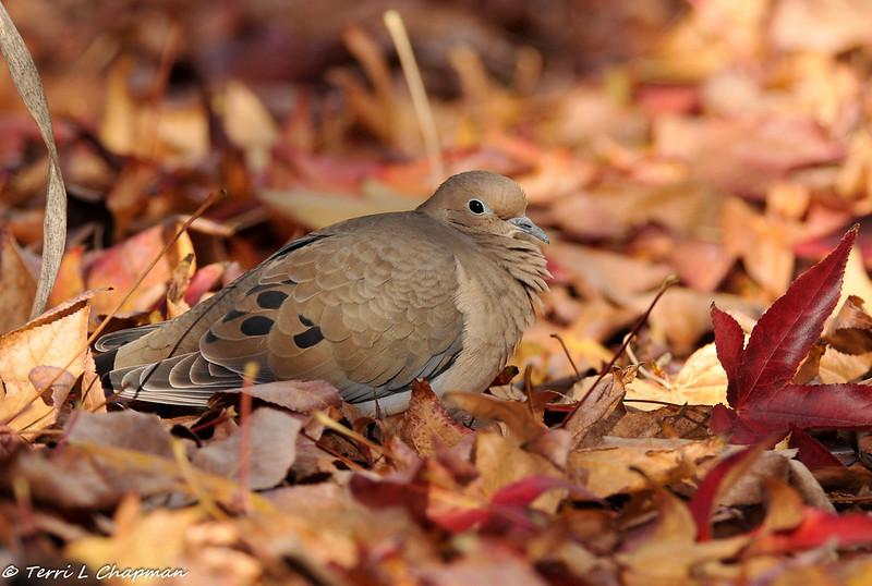 Mourning Dove nestled in Sweet Gum leaves
