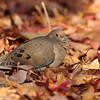 Mourning Dove nestled in Sweet Gum leaves