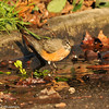 American Robin getting a drink from a puddle