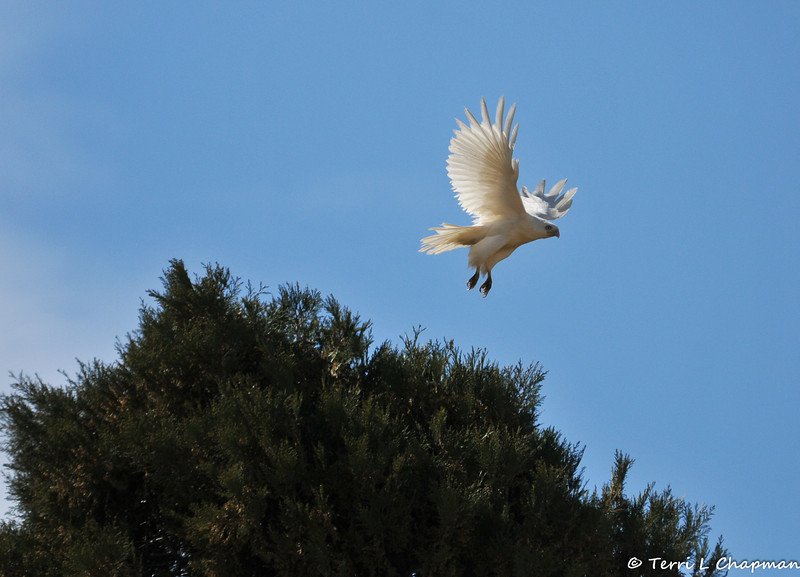 A Partial-Albino Red-tailed Hawk photographed in Valyermo, CA. Although this hawk has all white feathers, a true albino bird would have a pink iris and this particular bird has a light yellow iris.