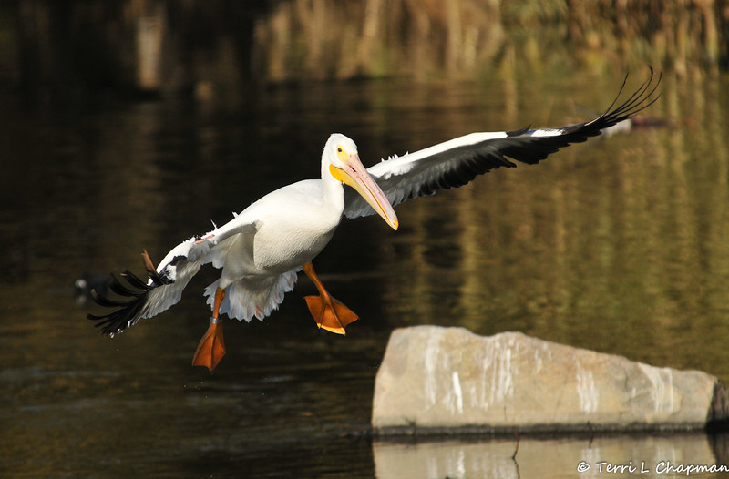 Banded and tagged American White Pelican #5C9 coming in for a landing at the LA River