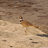 A Killdeer at the LA River