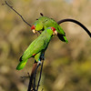 Two wild Red-crowned Parrots photographed in La Canada Flintridge, CA