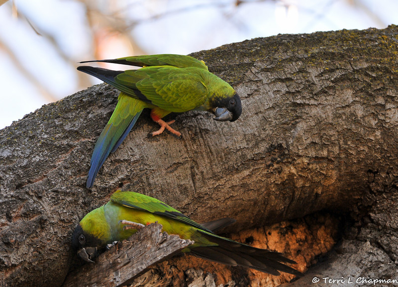 Wild Black-hooded Parakeets exploring an Oak tree in Calabasas, CA