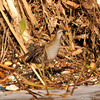 A Sora (in breeding plumage) photographed in the LA River. Unfortunately, the beauty of this secretive bird is overshadowed by the urban blight of trash always found in the river.